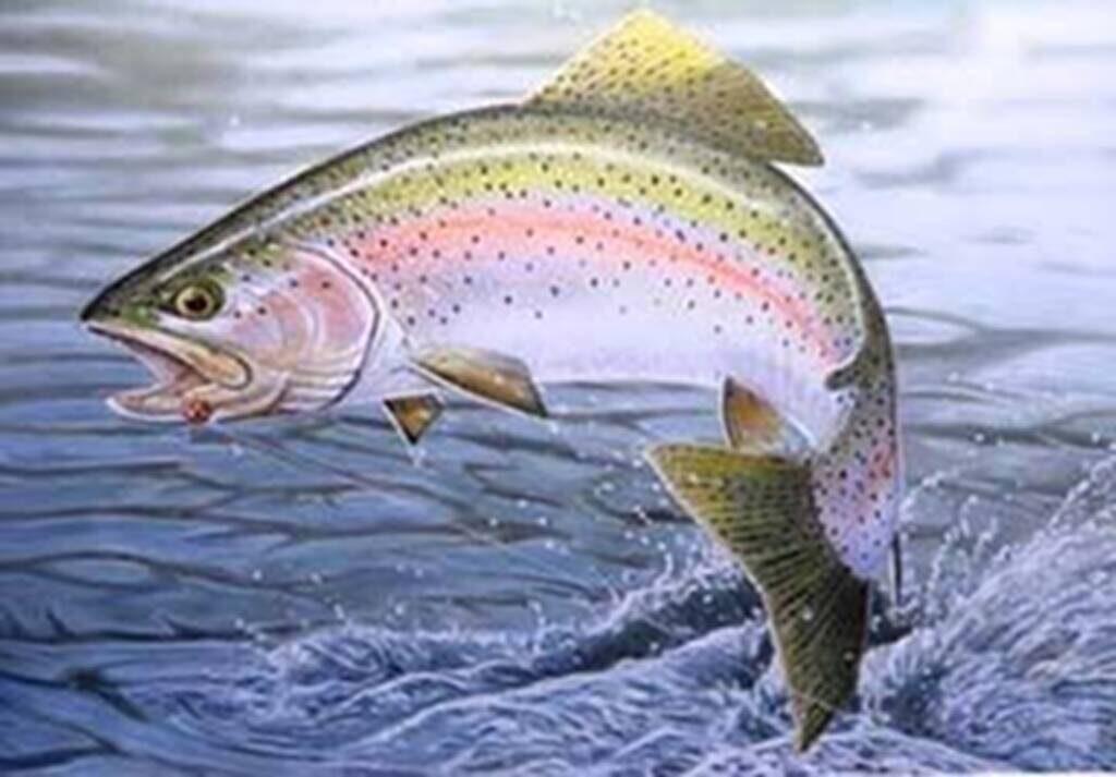 Fishing rainbow trout Fiska regnbåge Skåne