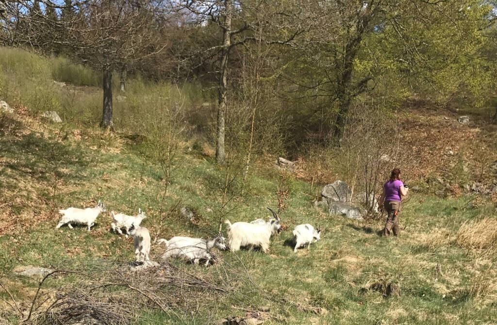 Goats Ullstorp Sweden