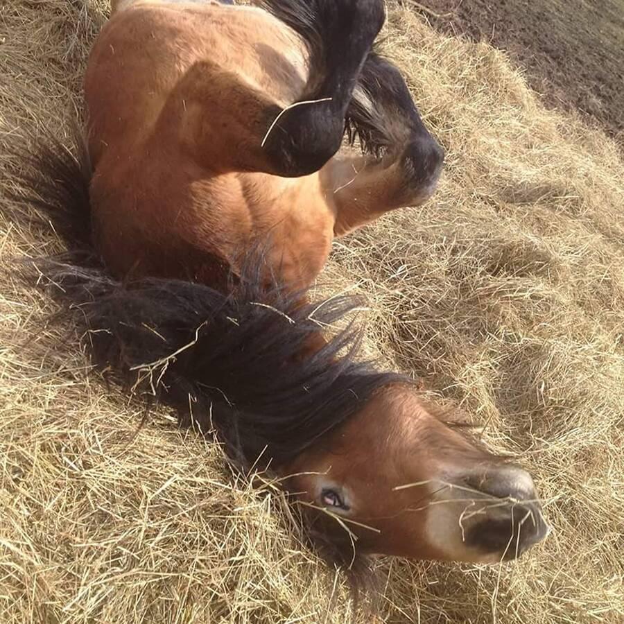 Horse riding on Icelandic horse ridning Islänning Ullstorps stugor skåne funny horse