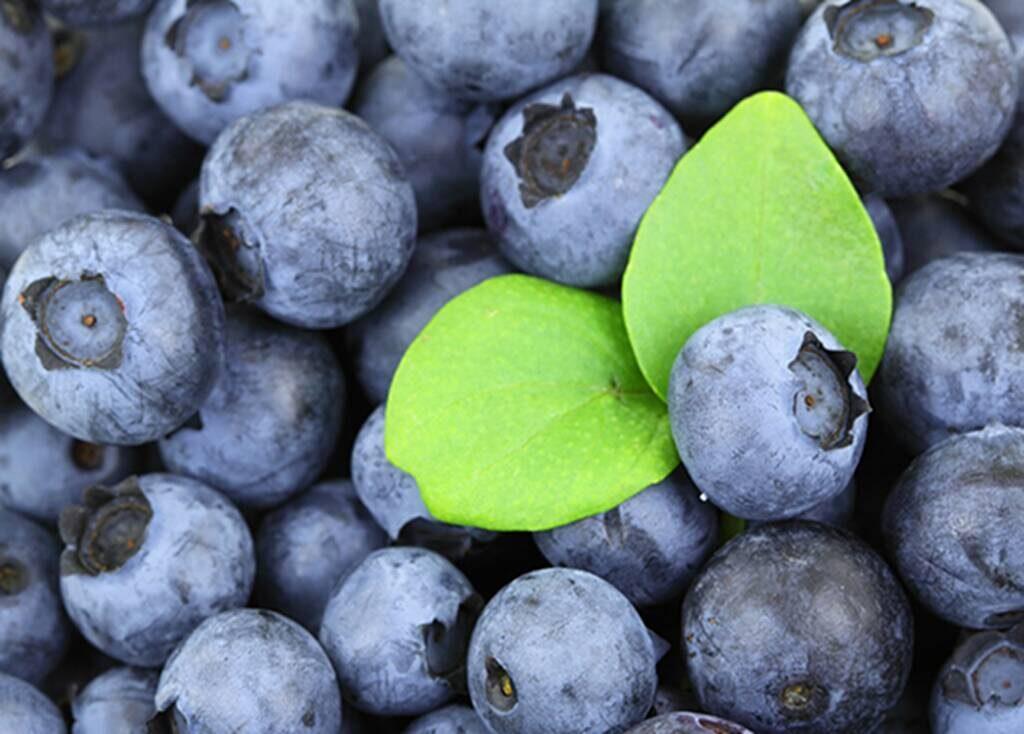 Picking blueberry Plocka blåbär Skåne
